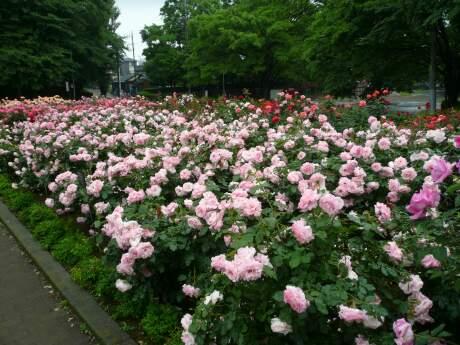 与野公園のバラ1.jpg