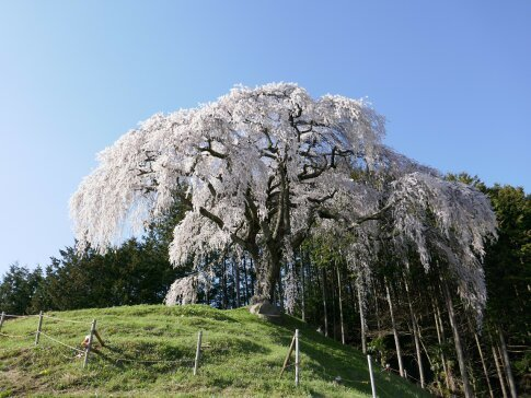 乙ヶ妻枝垂れ桜.jpg