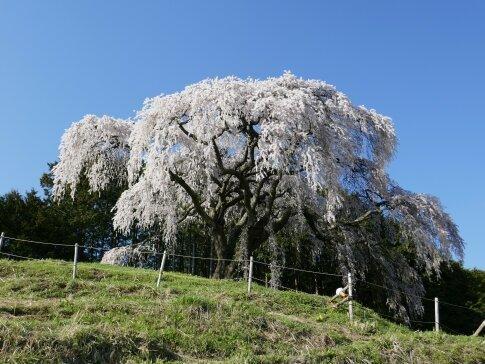 乙ヶ妻枝垂れ桜2.jpg