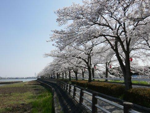 伊佐沼公園の桜3.jpg