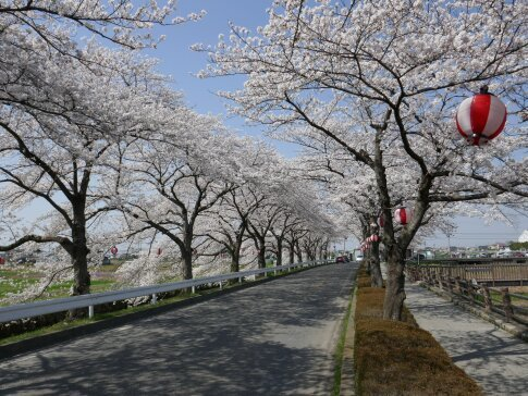 伊佐沼公園の桜5.jpg