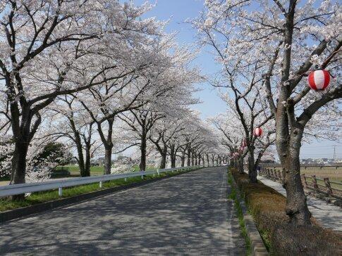 伊佐沼公園の桜6.jpg