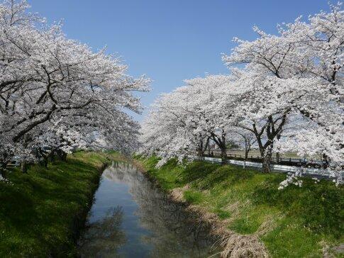 伊佐沼公園の桜7.jpg