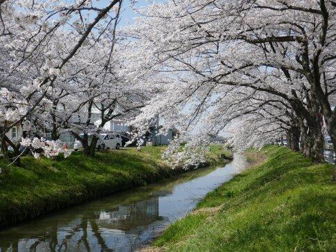 伊佐沼公園の桜8.jpg