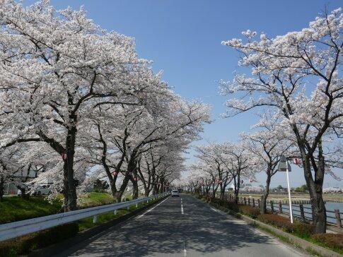伊佐沼公園の桜9.jpg