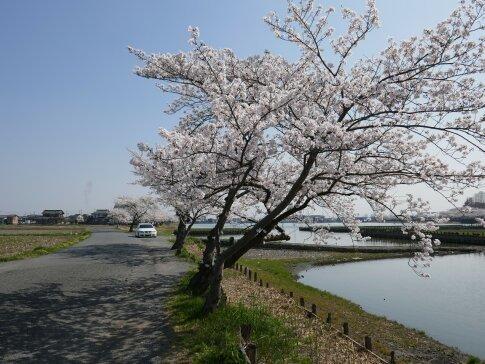 伊佐沼公園の桜9a.jpg