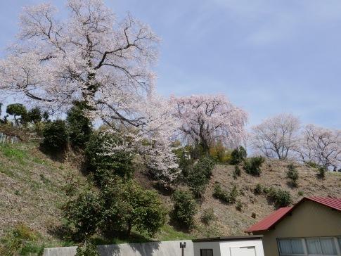 光岩寺の桜.jpg