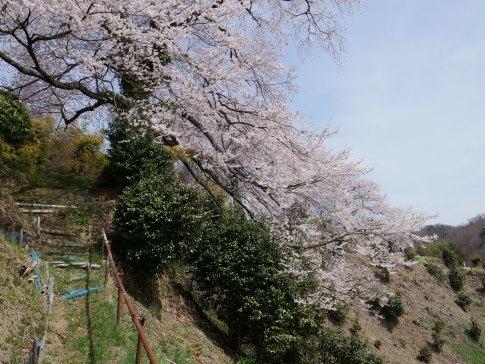 光岩寺の桜2.jpg