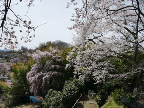 光岩寺の桜3.jpg