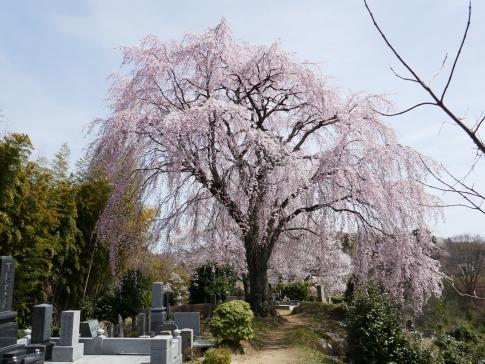 光岩寺の桜4.jpg