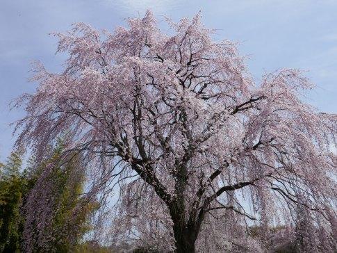 光岩寺の桜5.jpg