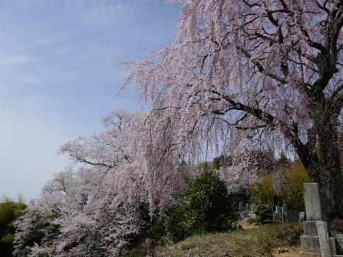 光岩寺の桜6.jpg