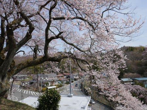光岩寺の桜7.jpg