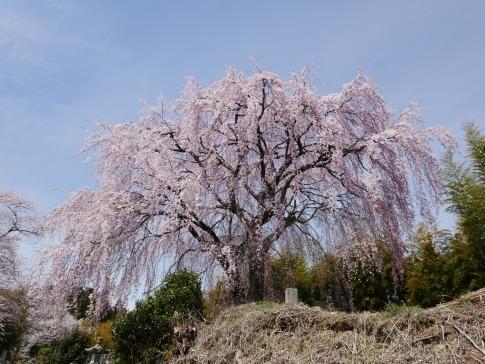 光岩寺の桜8.jpg