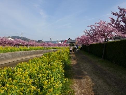 免々田川菜の花・桜まつり5.jpg