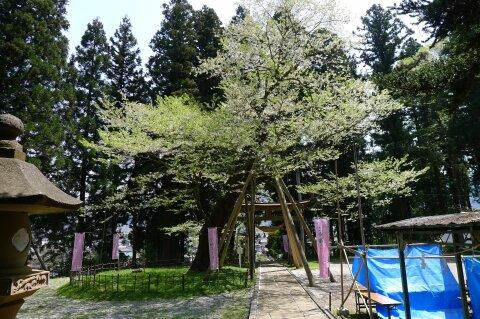 八乙女の種蒔き桜.jpg