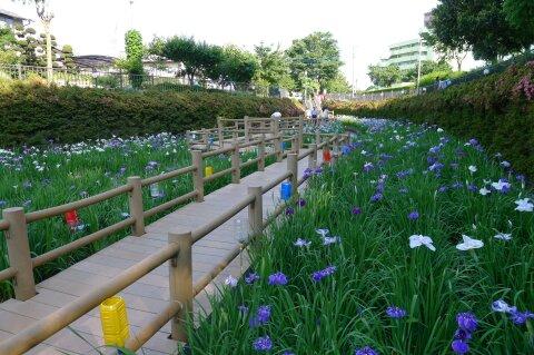 分水堀緑道の菖蒲2.jpg