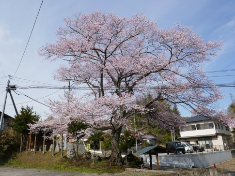 化粧坂入口の桜.jpg