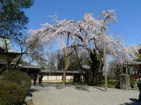 喜多院 枝垂れ桜201502.jpg