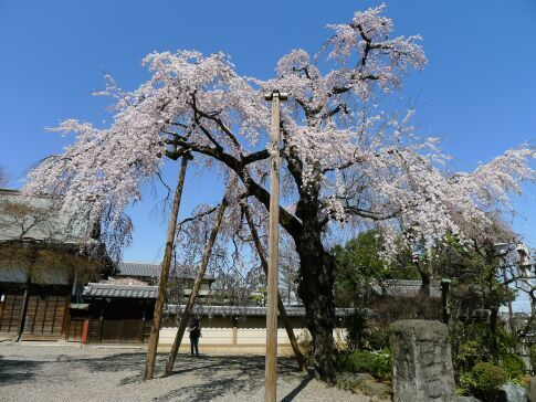 喜多院 枝垂れ桜201503.jpg