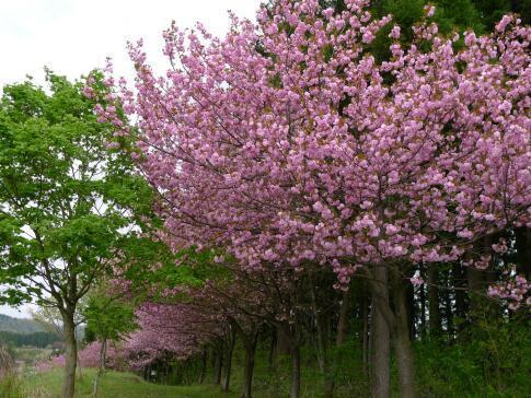夏山塚公園の桜5.jpg