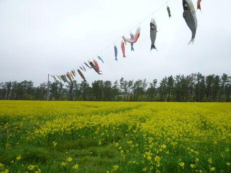 大潟村菜の花祭り2.jpg
