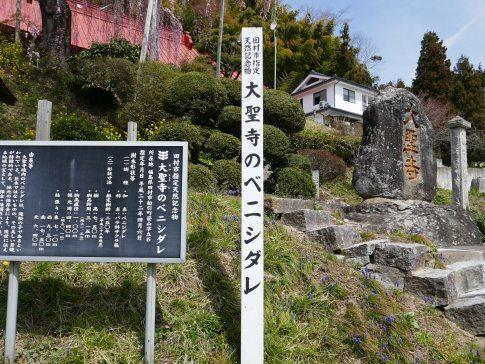 大聖寺のベニシダレ.jpg