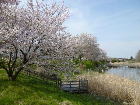 小山市下生井の桜.jpg