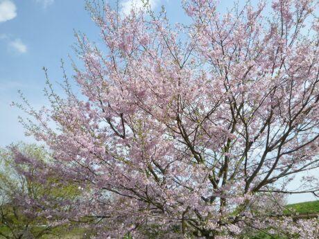 小山市下生井の桜3.jpg
