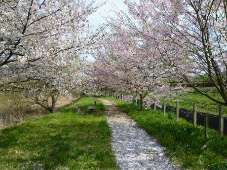 小山市下生井の桜5.jpg