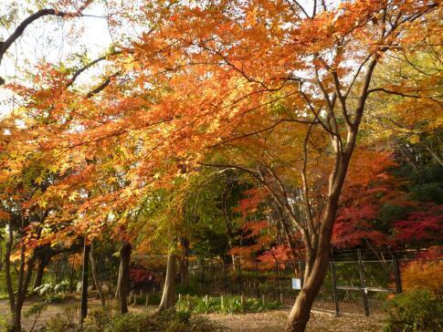 岡本公園の紅葉2.jpg