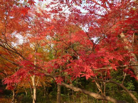岡本公園の紅葉5.jpg