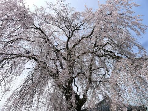 常楽寺の枝垂れ桜3.jpg