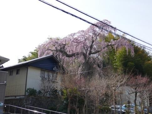 常楽院桜2.jpg