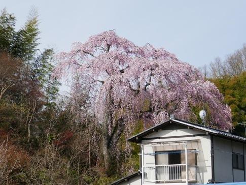 常楽院桜4.jpg