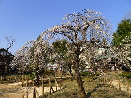 府中郷土の森 梅201302.jpg