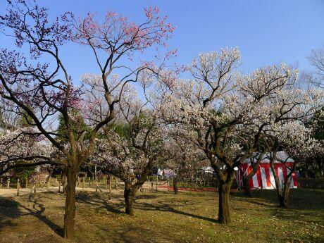 府中郷土の森 梅201305.jpg