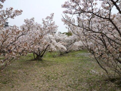 御室の桜3.jpg