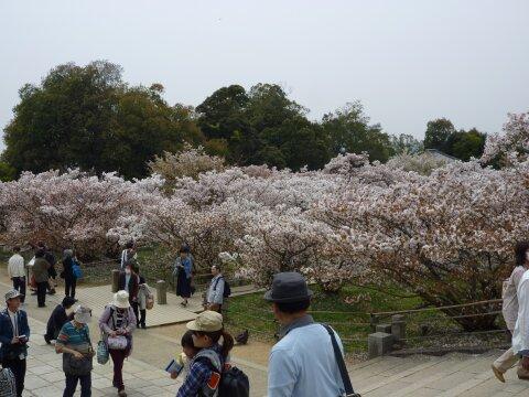 御室の桜4.jpg