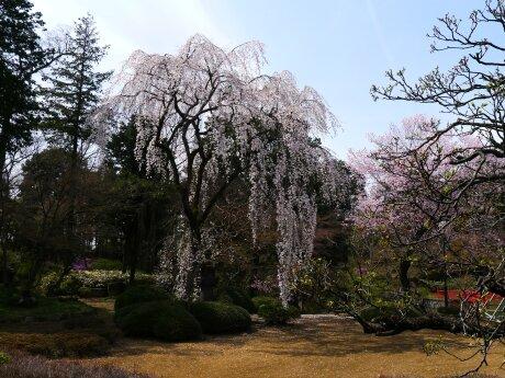 徳川家光お手植えの桜2.jpg