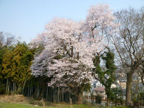 徳王の桜2.jpg