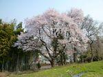 徳王の桜 大.jpg