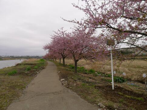 新川沿いの桜.jpg