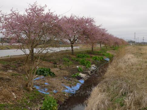 新川沿いの桜2.jpg