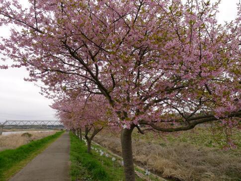 新川沿いの桜4.jpg
