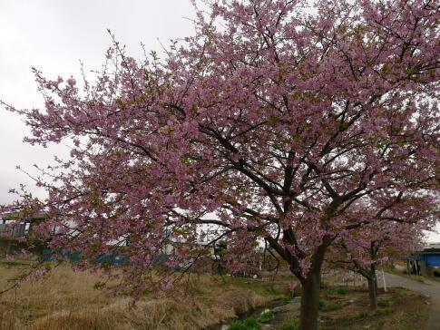新川沿いの桜5.jpg