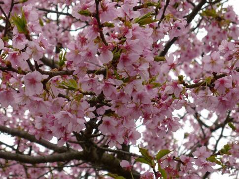 新川沿いの桜6.jpg