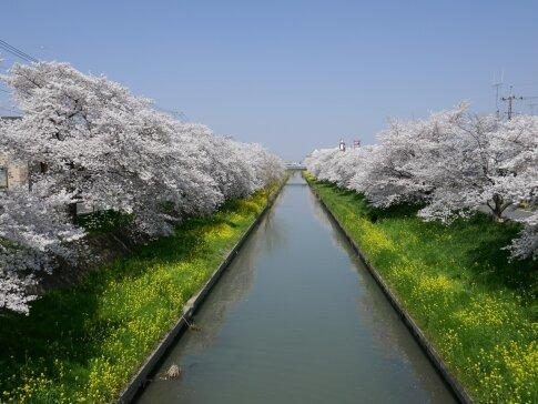 新河岸川沿いの桜.jpg