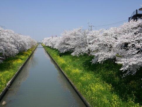 新河岸川沿いの桜2.jpg