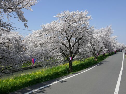 新河岸川沿いの桜3.jpg
